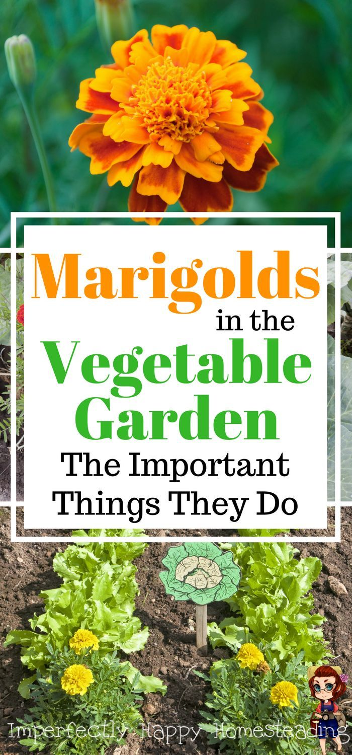 Most beautiful vegetable gardens - Marigolds In The Vegetable Garden Important Things They Do 6 Amazing Benefits For Gardeners And