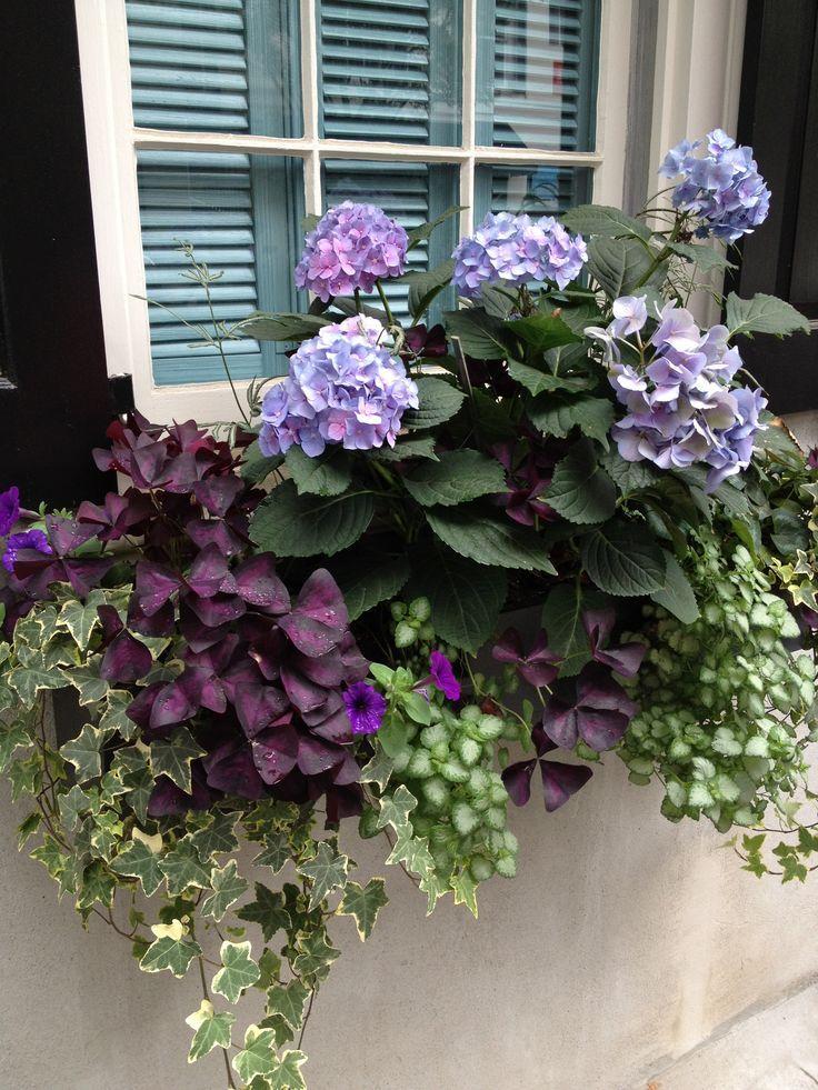 25 best ideas about hydrangeas on pinterest hydrangea bush hydrangea and hydrangea flower - Care potted hydrangea ...