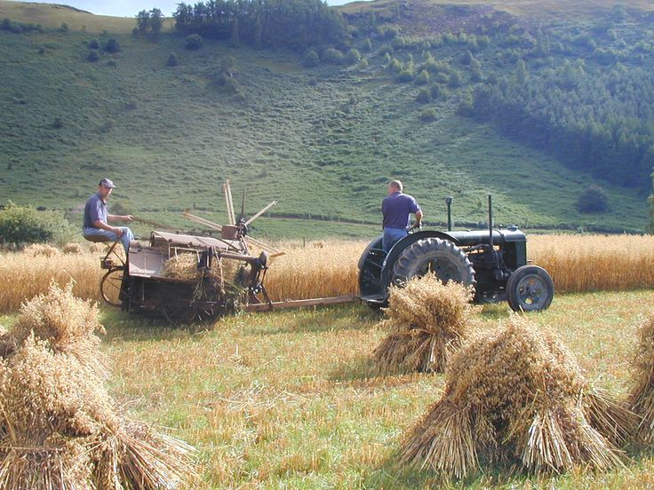 make hay while the sun shines. This is a grain binder, originally built to be pulled by a team of horses. The grain is stood on end and as you place several together they stay upright to continue drying