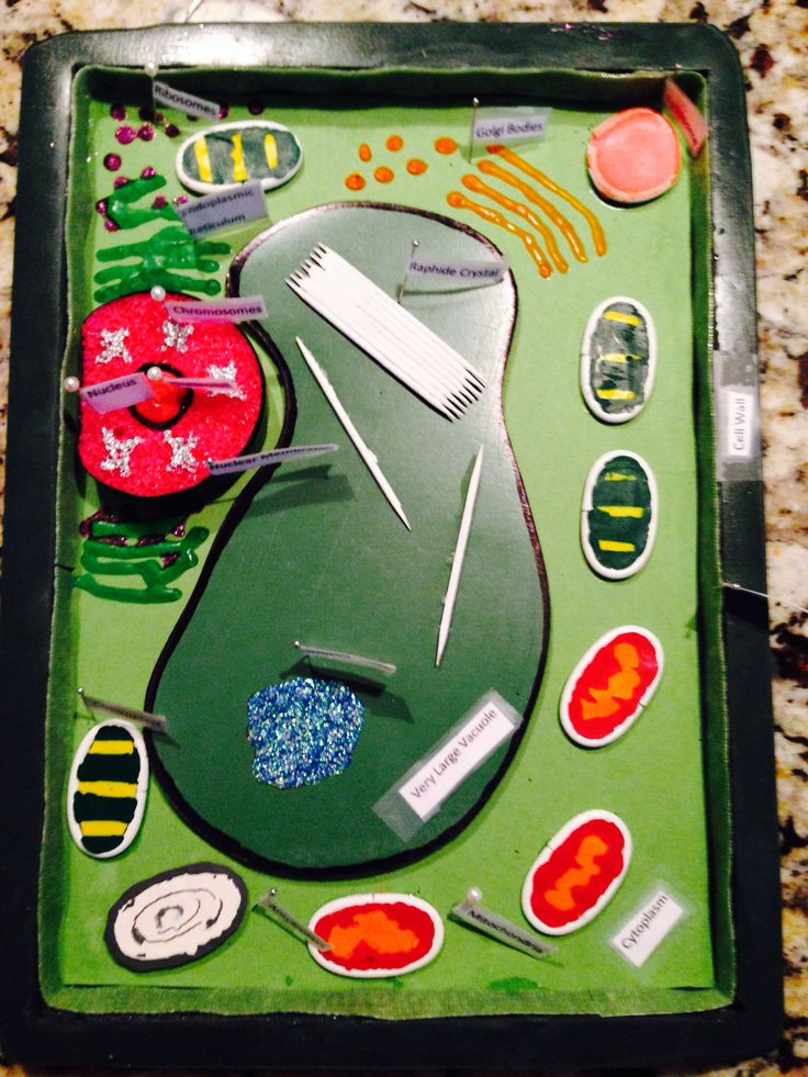 science project-7th grade-3-D plant cell model
