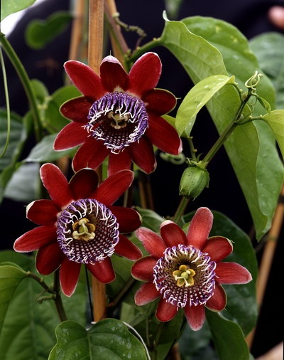 rote passionsblume passiflora mediterrane pflanzen pinterest. Black Bedroom Furniture Sets. Home Design Ideas