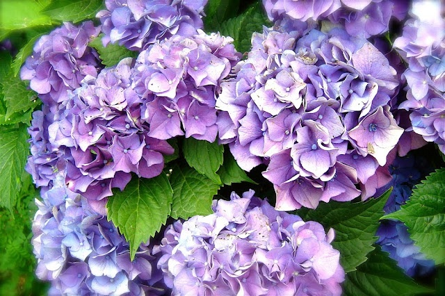The Empty Nest: UPDATE: Let's Make Babies!! or 'How to Propagate Your Hydrangea Bush'