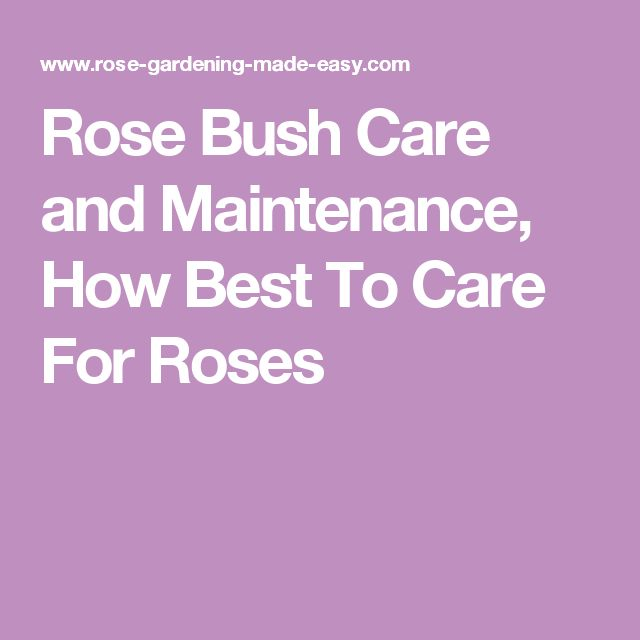 Rose Bush Care and Maintenance, How Best To Care For Roses