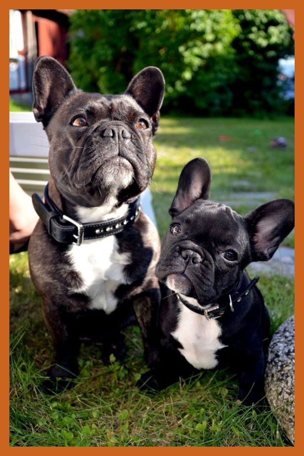 Pin By Kamilah Ramos On French Bulldog Puppies In 2020 Bulldog
