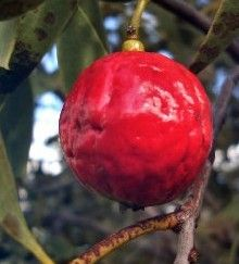 Bush Tucker Recipes - Quandong Recipes - Mmm, I love Quandong jam with ice cream. :D
