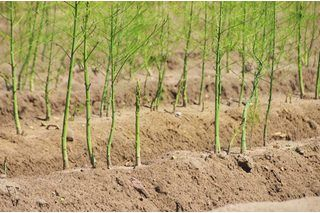 How to Transplant Established Asparagus | eHow