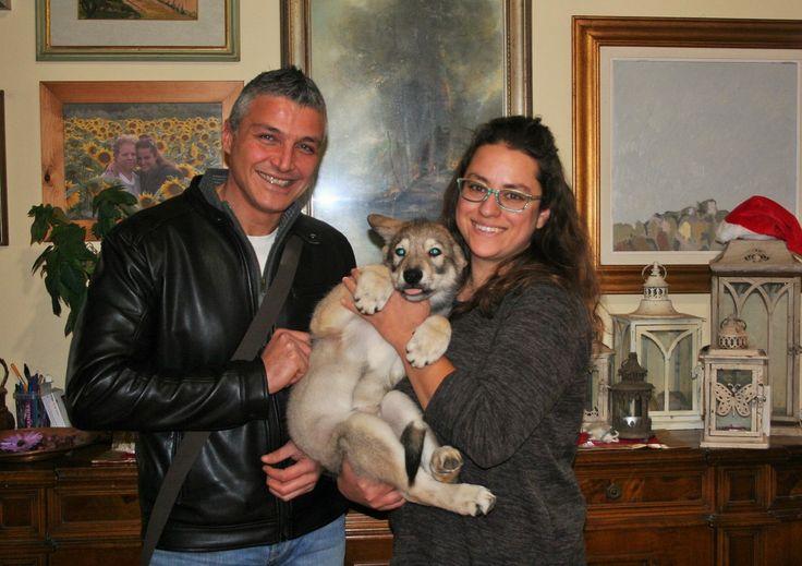 """Anche la nostra piccola """"Donna Carlotta di Fossombrone"""" è partita per la sua nuova casa 🐾🐺❤️ #cuccioli #saarloos #difossombrone"""