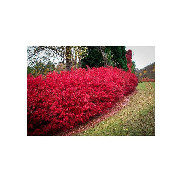 Burning Bush, Euonymus alatus, 1 Gallon Potted Plant, Bright Red Color Foliage, Landscaping, Decidious, Vibrant Shrub, Hedge, Beautiful by growerssolution on Etsy https://www.etsy.com/listing/481982982/burning-bush-euonymus-alatus-1-gallon