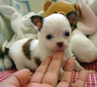 We Love Chihuahuas!