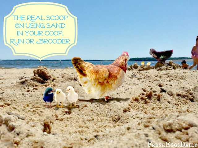 The Real Scoop on Using Sand in your Chicken Coop, Run or Brooder | Fresh Eggs Daily®