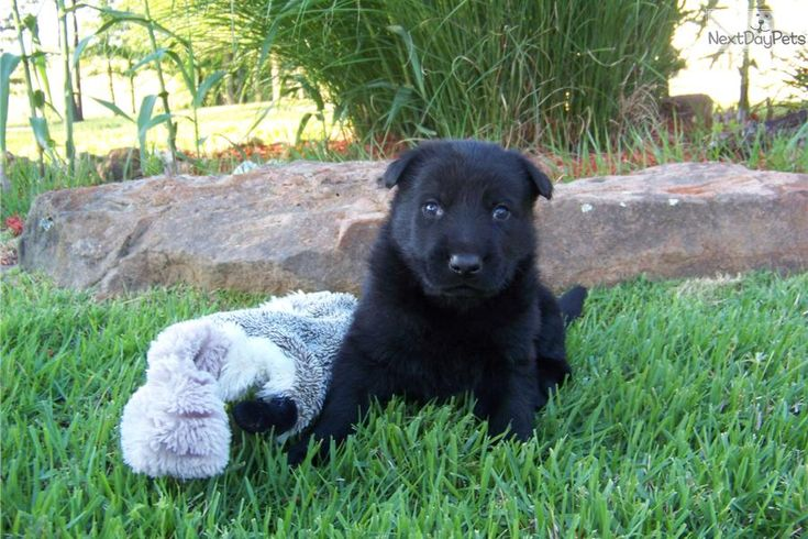 king shepherd dog photo | Meet King a cute German Shepherd puppy for sale for $1,200. King..AKC ...