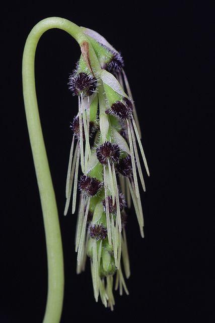 Bulbophyllum lemniscatoides by thomas_orchids, via Flickr