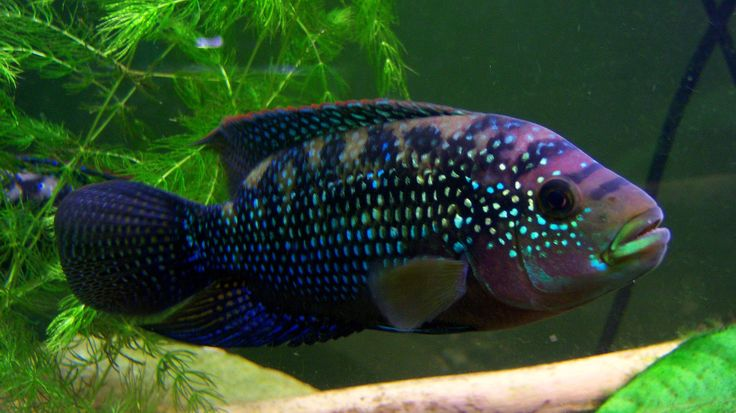 South american cichlids list - photo#15