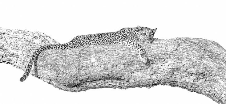 leopard resting in a tree. BW print by wildlife photographer Dave Hamman