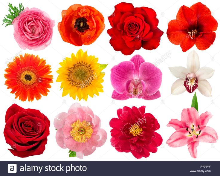 Single Flower Head Rose Orchid Peony Sunflower Amaryllis
