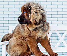 23 seltene Hunderassen, die nicht jeder hat