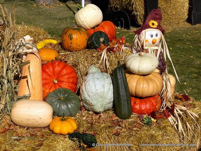 Pumpkin Harvest, via Flickr.