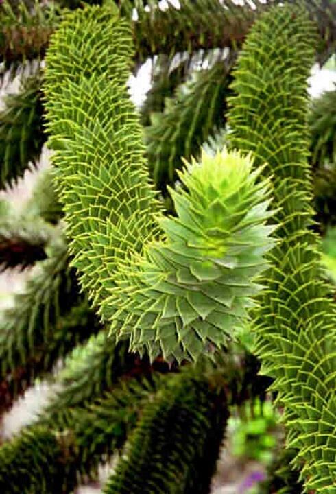 Pehuén Araucaria Araucana. Chile