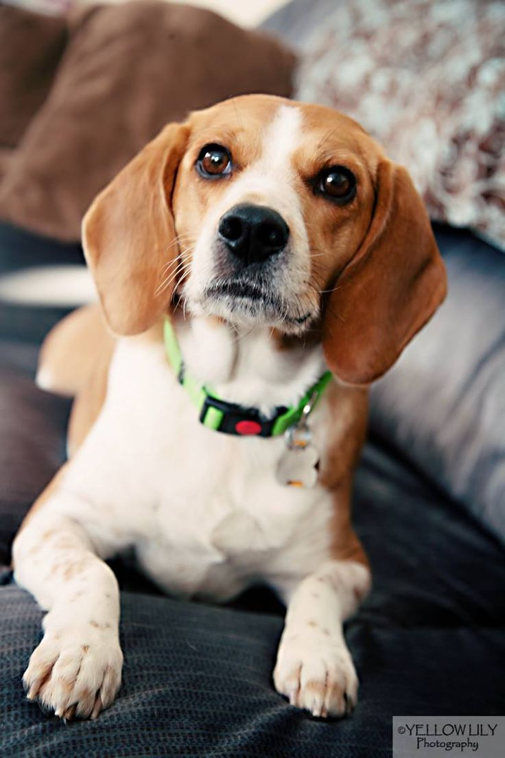 Bones is a 4 year old Beagle who was surrendered by his owner due to a change in life circumstance. Bones is crate trained and walks very well on a leash. He loves affection and wants to cuddle all the time. He is very well behaved and responds to...