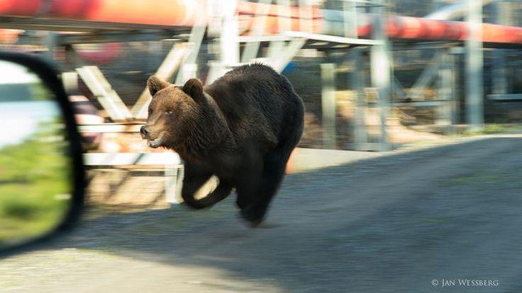 porin karhu