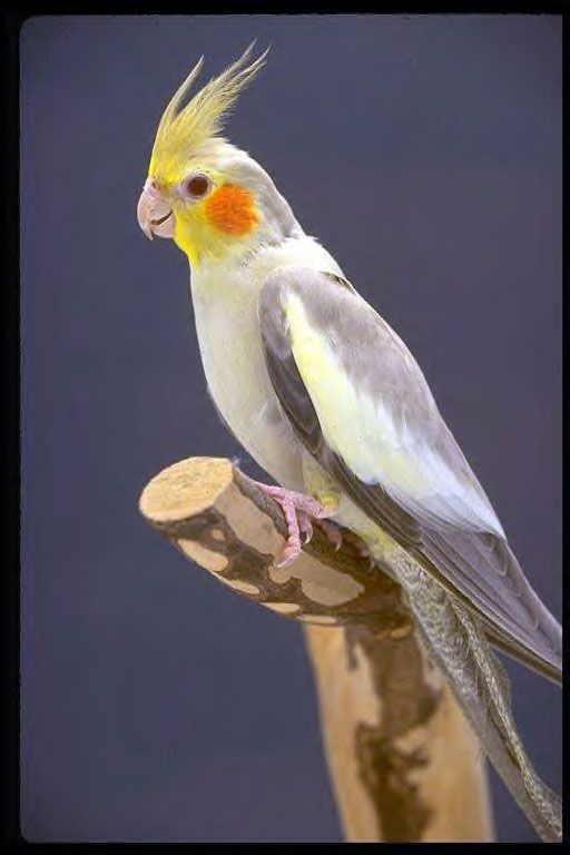 70 best images about cockatiels on pinterest image for Cocktail yellow bird