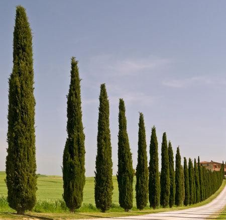 Italian Cypress Evergreen Trees for Sale | Fast Growing Trees
