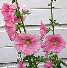 Hollyhock : How to Grow Sow and Care for Hollyhocks