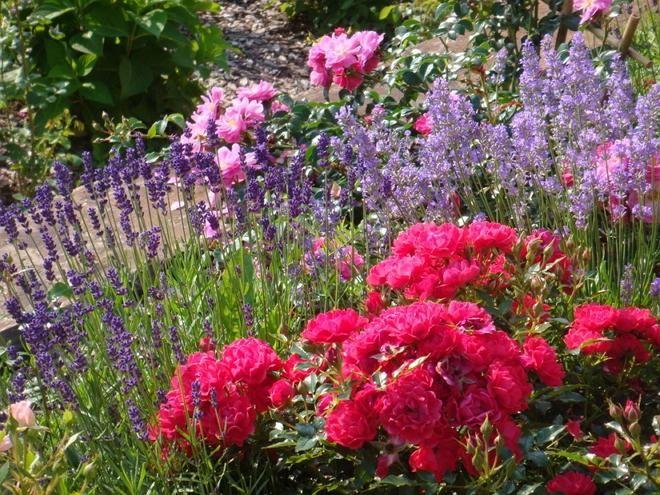 Розы среди фиолетовых цветов