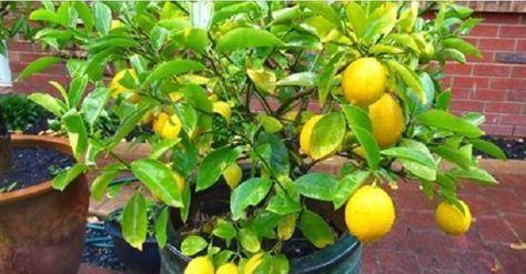 O limão é uma verdadeira farmácia, uma fruta com incrível poder curativo.O leitor do Cura pela Natureza sabe o valor do limão, pois já publicamos aqui muitas receitas com esta maravilhosa fruta.O maior benefício do limão certamente é o de alcalinizar o sangue.