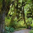 Hall of Mosses, Hoh Rainforest, Olympic Nationalpark, Washington, USA