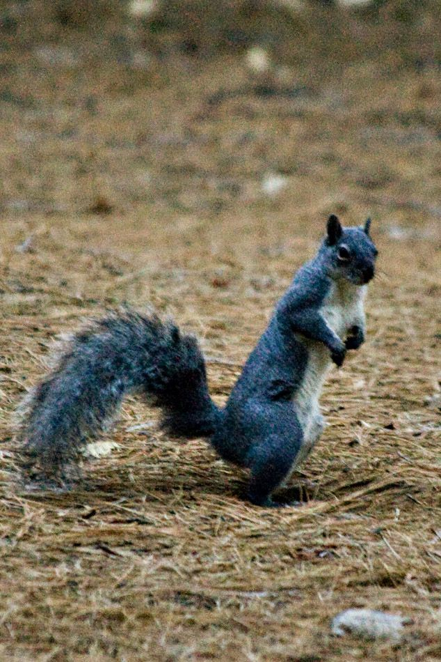 Why Does This Squirrel Look Blue Animals Pinterest