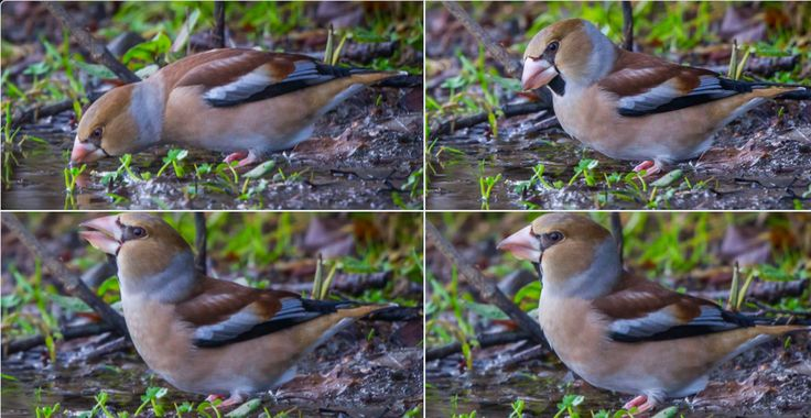 Female Hawfinch