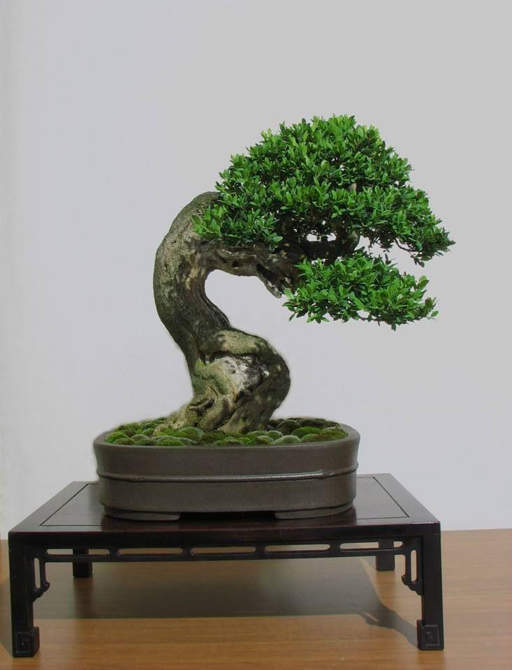 What an amazing trunk on this juniper #bonsai! More here: http://www.emilysplants.com/house-plants/bonsai