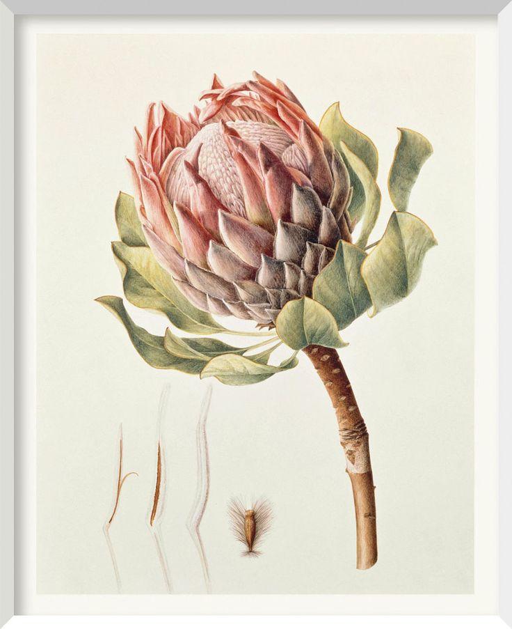BRIGID EDWARDS Protea 1. 2000, watercolour on vellum 38.1 x 30.5 cm