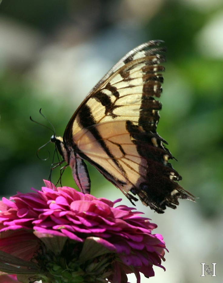 Backyard Habitat - Homewood - Illinois - Butterfly