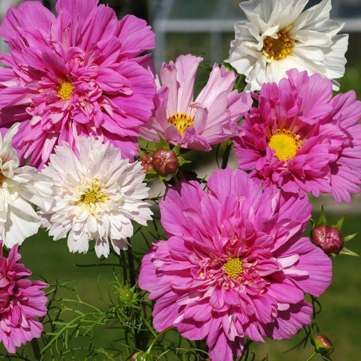 ROSENSKÄRA 'Double Click' i gruppen Ettåriga blomsterväxter hos Impecta Fröhandel (8913)