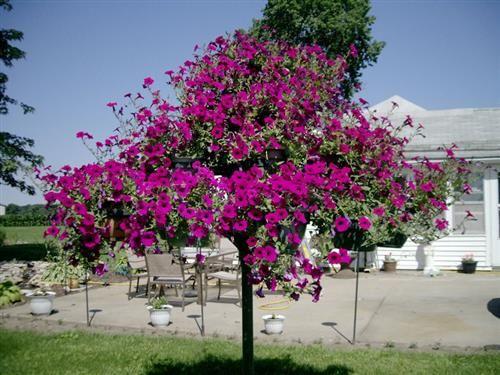 Flower Garden Ideas Illinois 978 best petunias images on pinterest | petunias, flower gardening