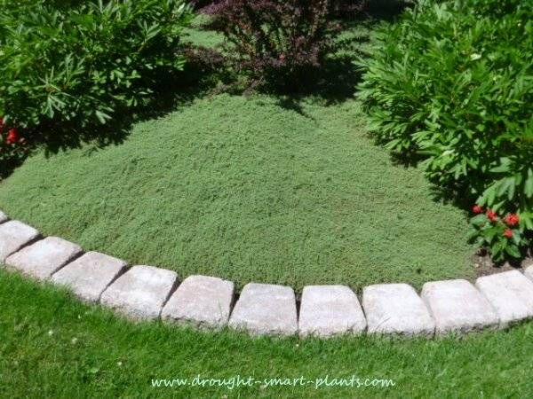 Woolly Thyme Lawn enclosed in a brick edging...