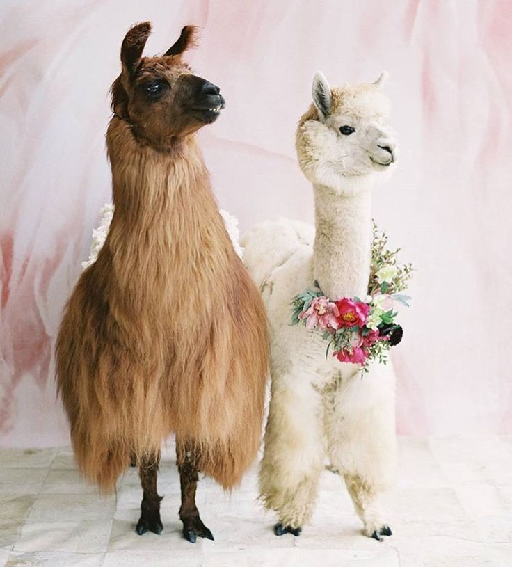 Wedding Llamas yes please!?!  check it out @weddingllamas