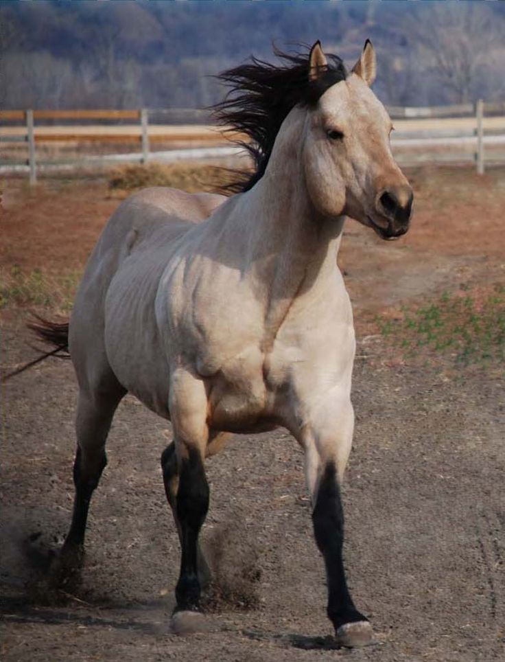 Quarter Horse stallion Mr Two Eyed Red Buck, so pretty ...