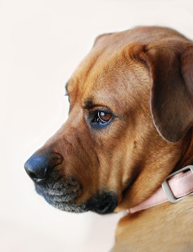 Bella (rottweiler & american bulldog) | Photos taken by us ...