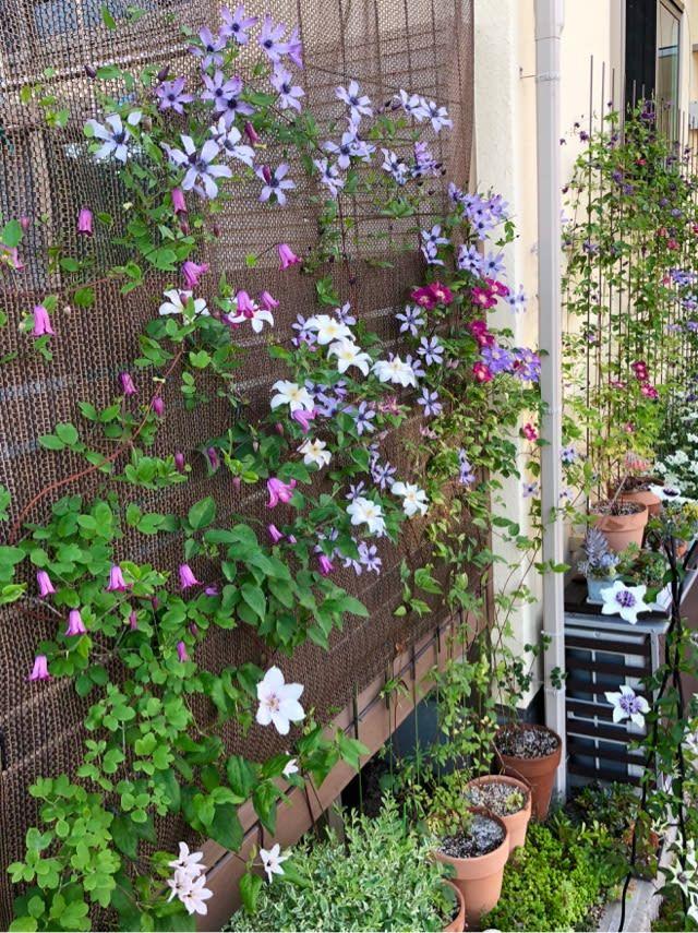 クレマチス フルディーン 花後剪定 雑木と宿根草とクレマチスの小さな庭づくり クレマチス 庭 づくり 庭