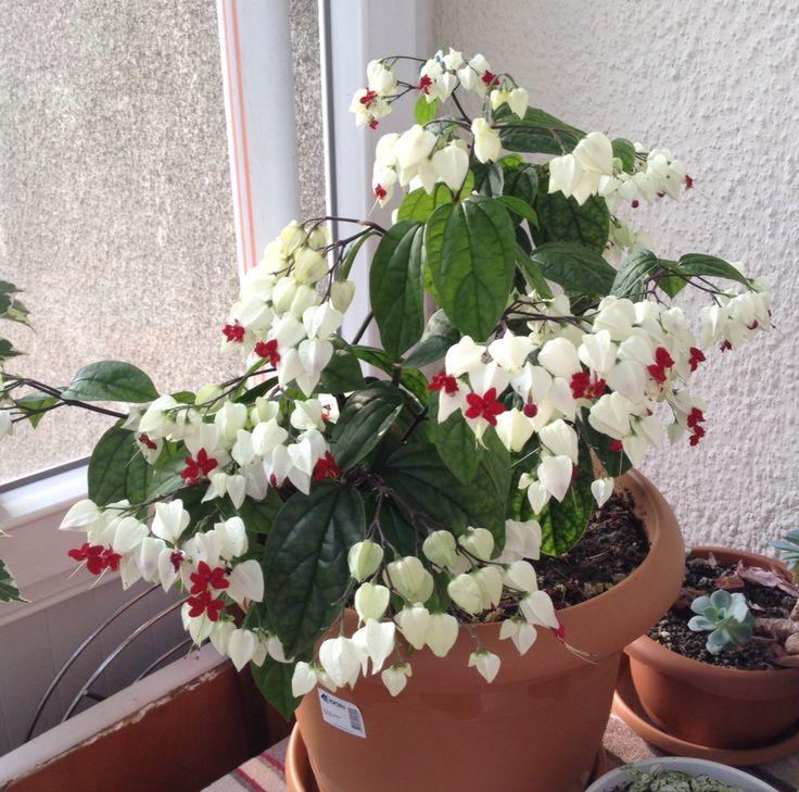 Kanayan kalpler çiçeği