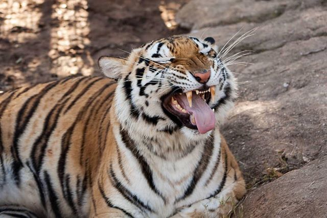 Its Sunday Funday at Tiger Creek Animal Sanctuary in Tyler! Tiger