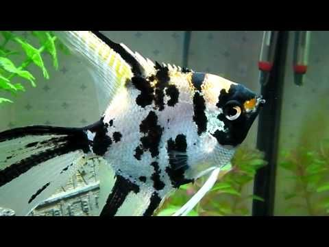 17 best images about fish on pinterest cichlids for Semi aggressive fish