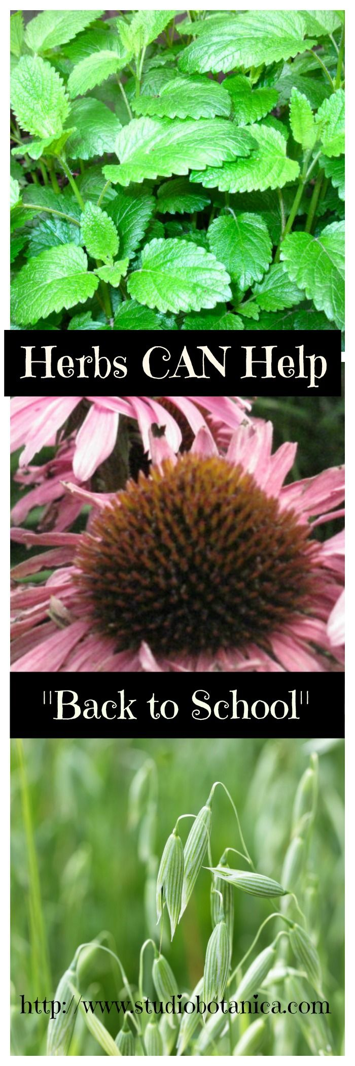 """""""Back to School"""" is a busy time in many homes! Lazy summer days go into overdrive. Herbal teas can help! There is one herb that i use a lot. Do you have it?"""