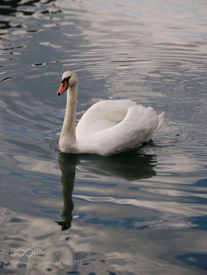mute swan by zeroc00l via http://ift.tt/2hnpEi2