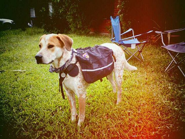 Quick and funny guide to essential gear when hiking and camping with your dog. #doggear #campingwithyourdog #hikingwithyourdog