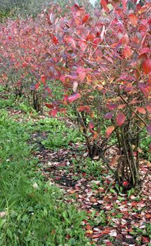 Patriot Northern Highbush Blueberry Plant (3-5' tall, white flowers in spring, green leaves in summer, red leaves in fall, tangy berries, zones 3-7)