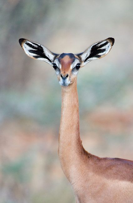 This, dear children, is a Gerenuk. It now holds the spot as my favorite living animal. (Dinosaurs always win, though.)